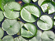 Waterlily Leaves photo